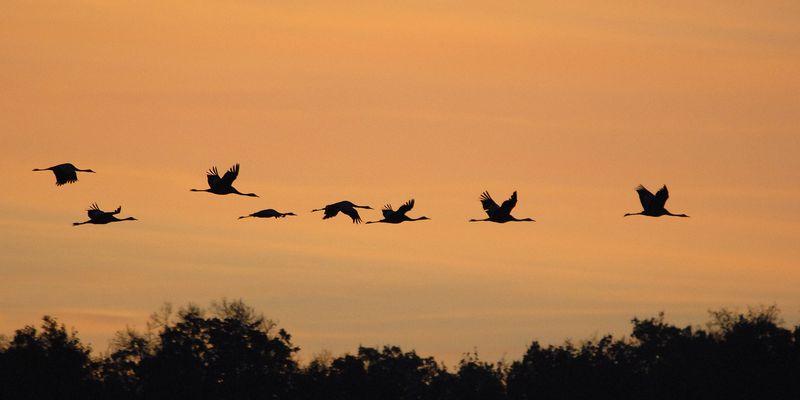 Grues cendrées au lever du soleil © C. Tomasson